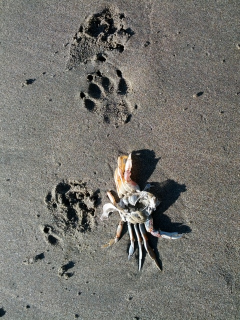 Crab Shell and Dog Prints